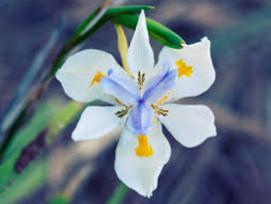 african iris - Volusia County Master Gardener Plant Faire