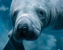Boaters urged to watch for manatees