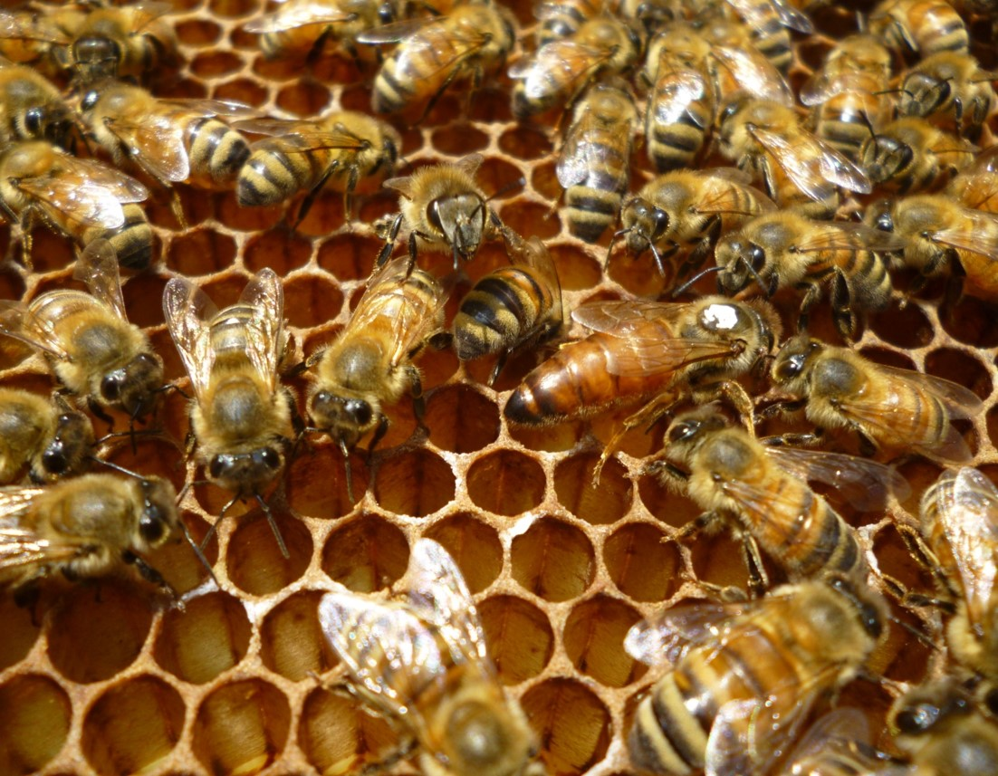 Worker honey bees are displayed on honey comb attached to a frame of a beehive.