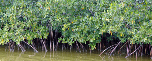 Mangrove Image 1