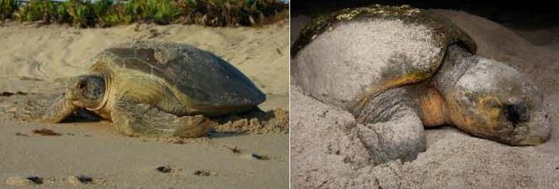 Green Sea Turtle and Loggerheads photos