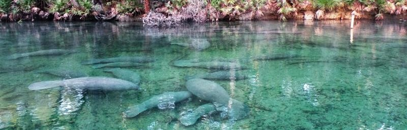 Manatees swimming in spring
