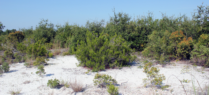 Photo of scrub habitat showing sandy areas and low brush