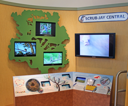 Photo of Scrub Jay Central display
