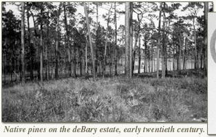 native pines on debary estate early 20th century