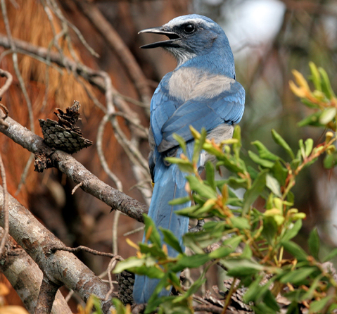 Photo of a Florida scrub jay