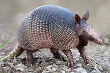 Photo of nine-banded armadillo
