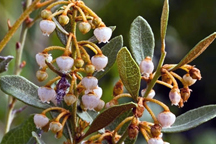Photo of rusty lyonia